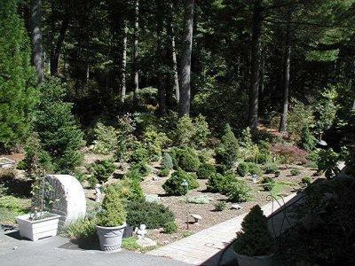 Collins conifers