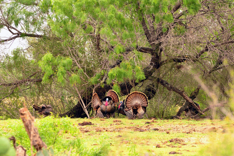 _APR3482 Spring gobblers; 2013