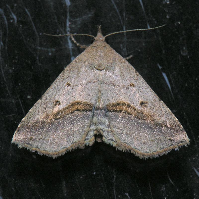 8491 Lost Owlet - Ledaea perditalis