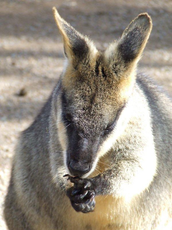 Featherdale Wildlife Park: Kangaroos