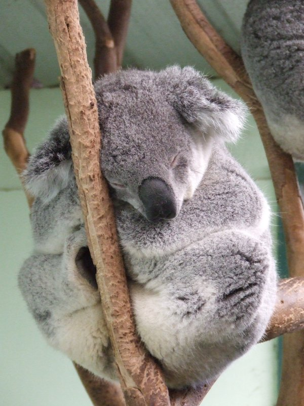 Featherdale Wildlife Park: Koalas