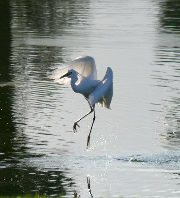and egrets dance