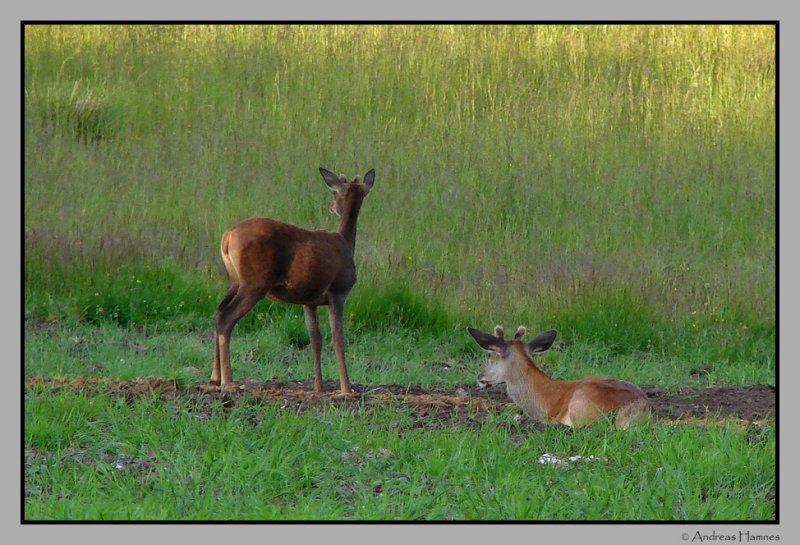 Deer, taking a rest
