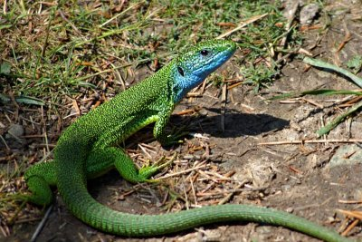 Lizard, Matka