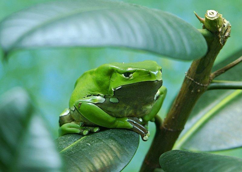 Giant Waxy Monkey Frog 01