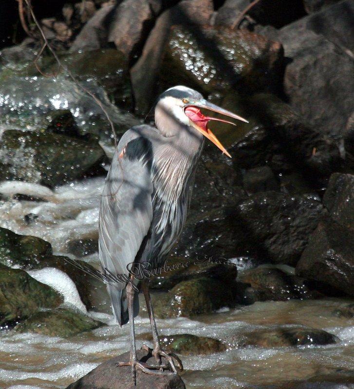 Blue heron clears the throat.jpg