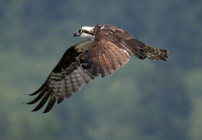 Osprey - Aug 2006 - IMG_2026.JPG