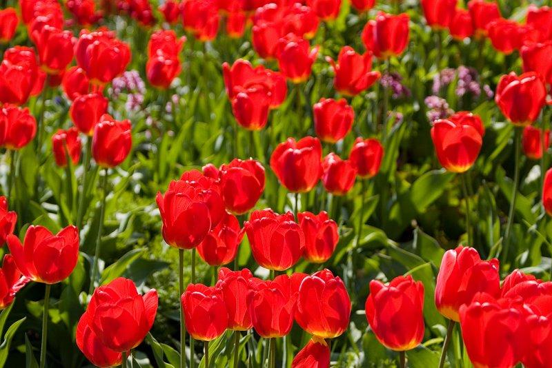 Tulips-4836.jpg