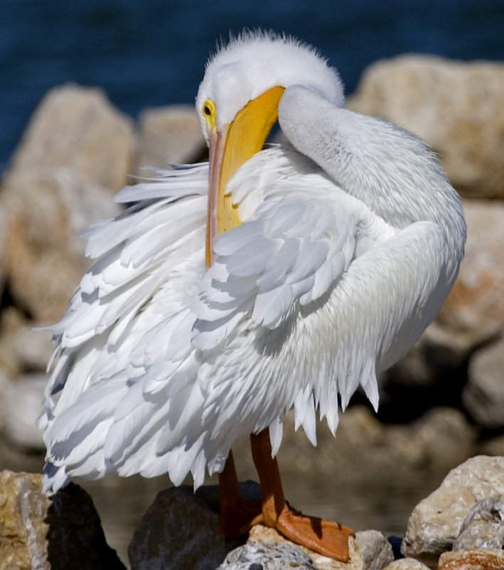 Sleepy White Pelican