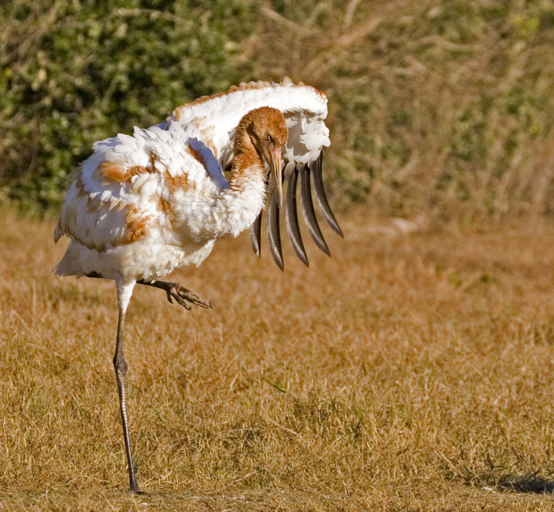 Whooper Dance:  Juvenile Whooping Crane_ANWR Area Lamar