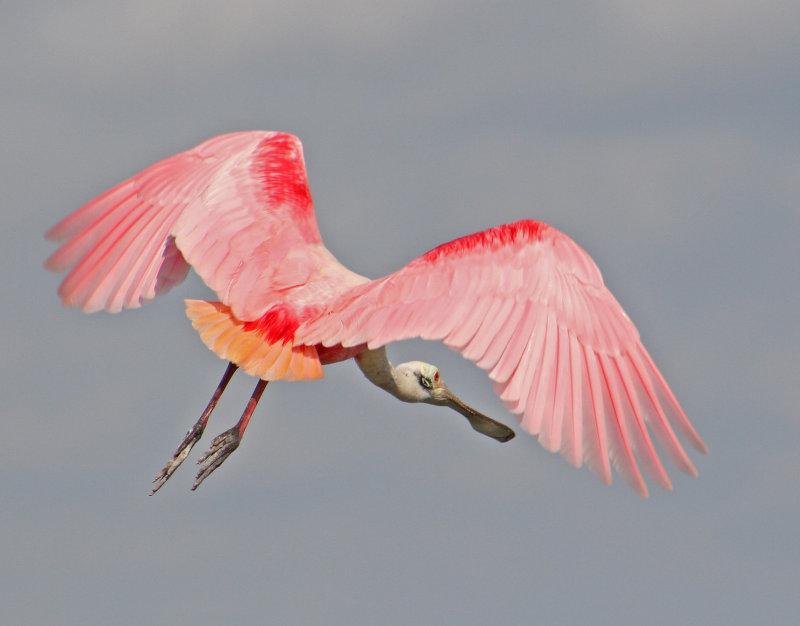 Roseate Wings