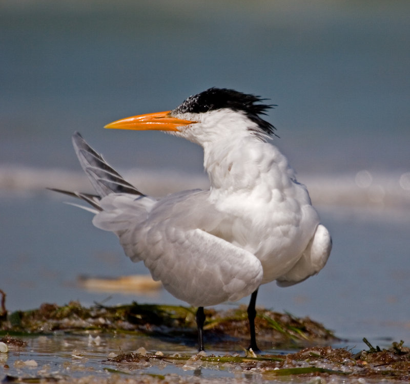 Royal Tern with Attitude