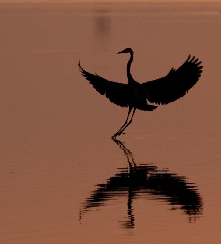 Landing Gently (Great Blue Heron)