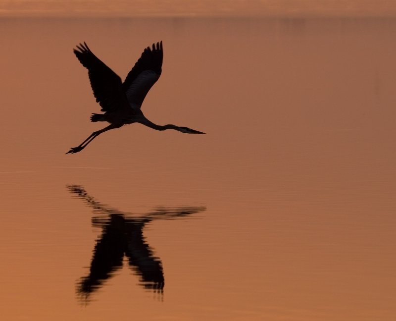 Morning Flight (Great Blue Heron)