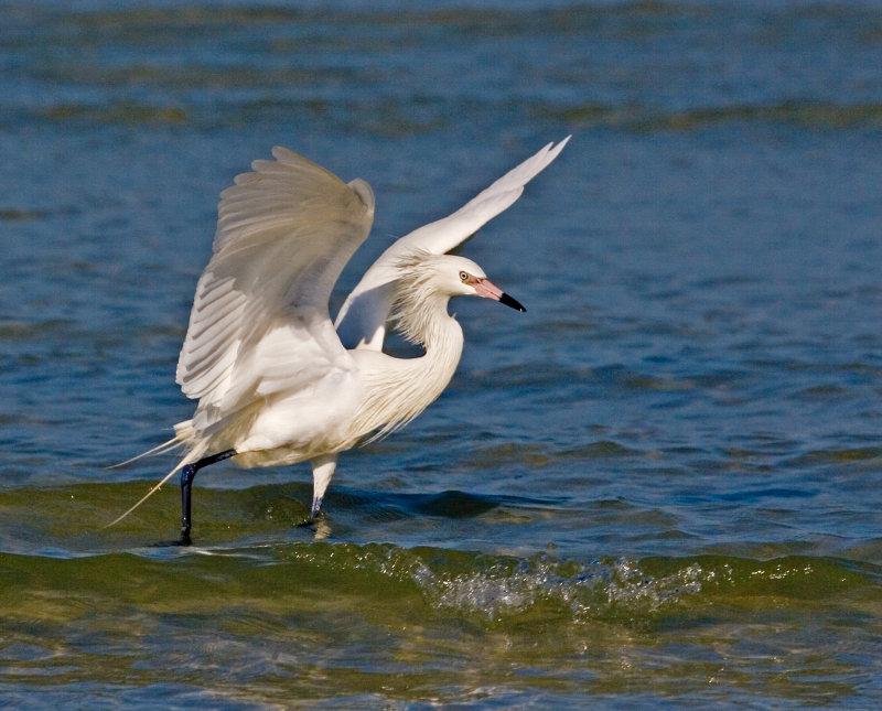 Phoenix Impression (Reddish Egret White Morph)
