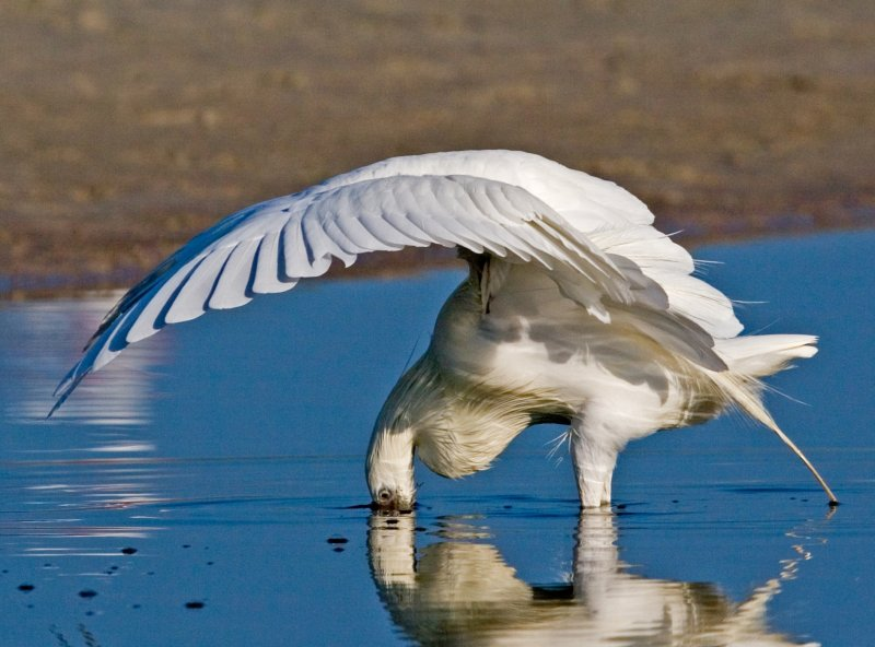 The Canopy Strike (Reddish Egret White Morph)