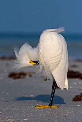 Rum Runner After a Hard Night (Snowy Egret)