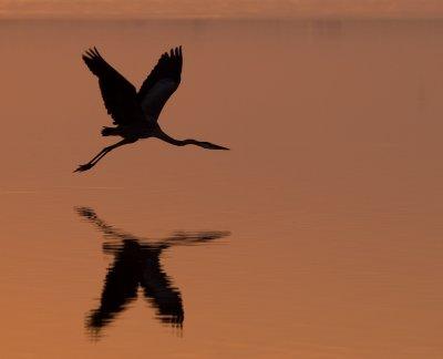 Morning Flight (Great Blue Heron)