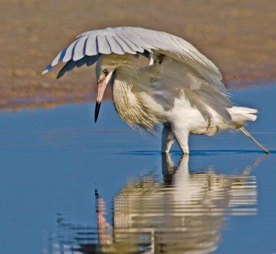 Matador (Reddish Egret White Morph)