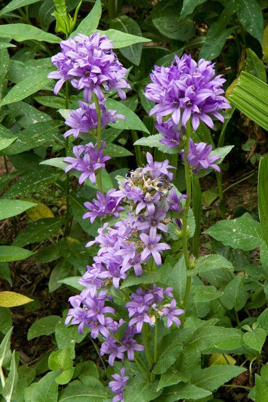 IMG_0094 Pretty Lavender Flowers