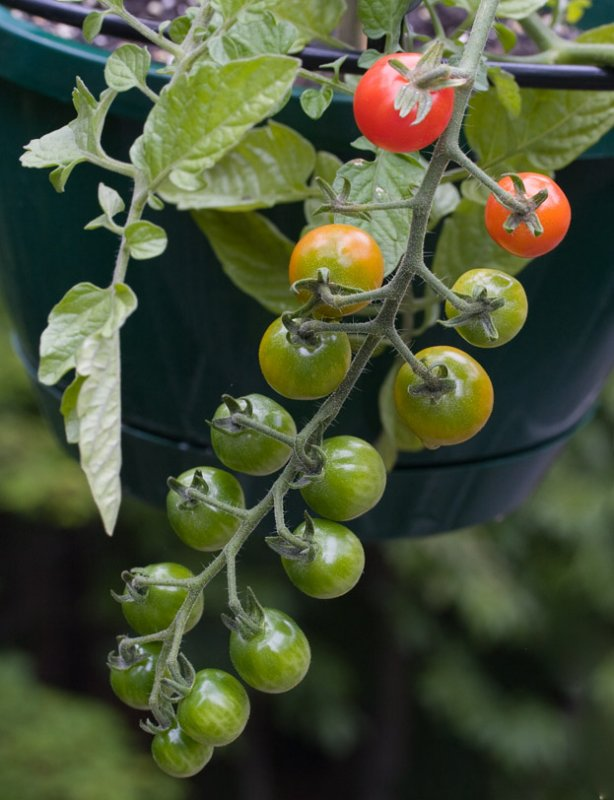 _MG_8006 hanging pot tomatoes