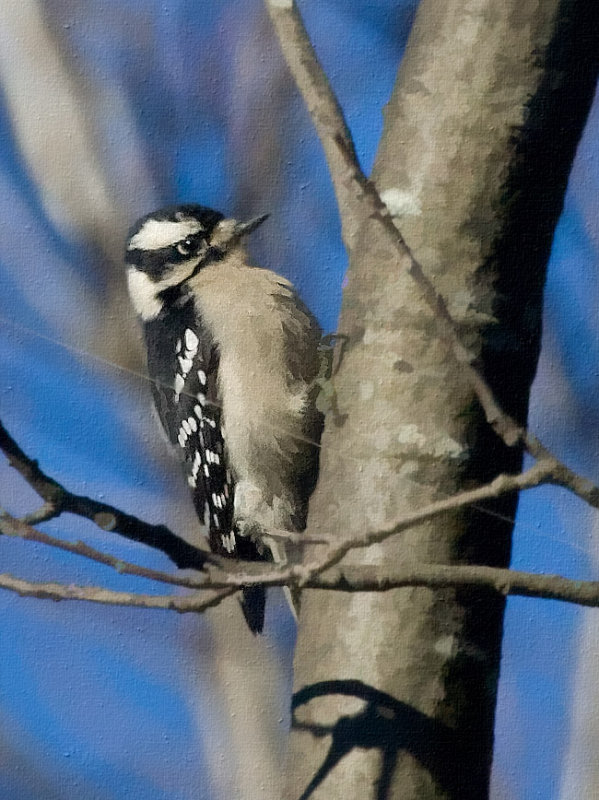 _MG_0723 Downy Woodpecker?
