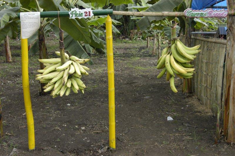 Banana exhibit