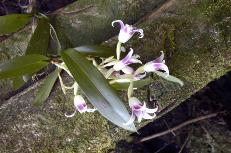Wild orchid in Panama