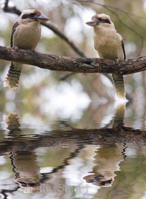 Kookas in flood