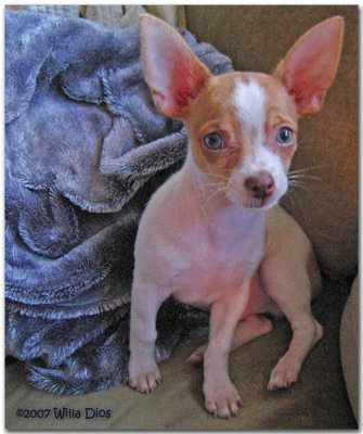 Diego The Blue Eyed Chihuahua