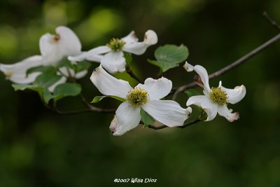 Dogwood Blossoms