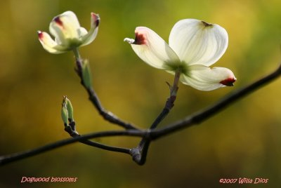 Dogwood Blossoms II