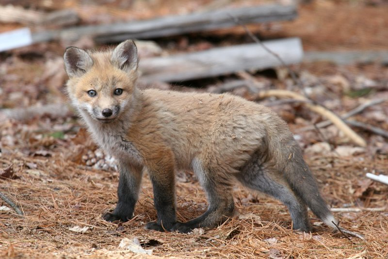 Red Fox - Vulpes vulpes (young kit)