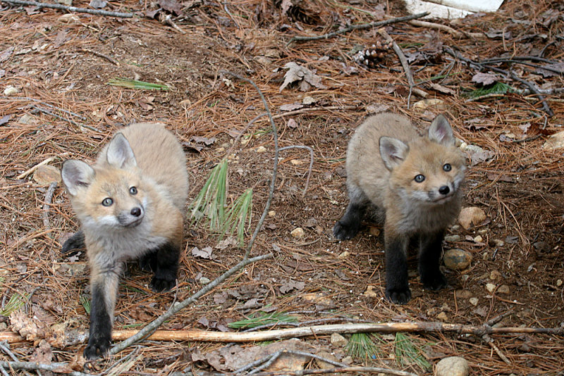 Red Fox - Vulpes vulpes (young kits)