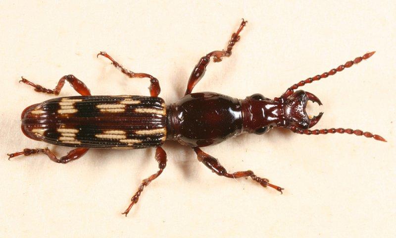 Oak Timberworm - Arrhenodes minutus (male)
