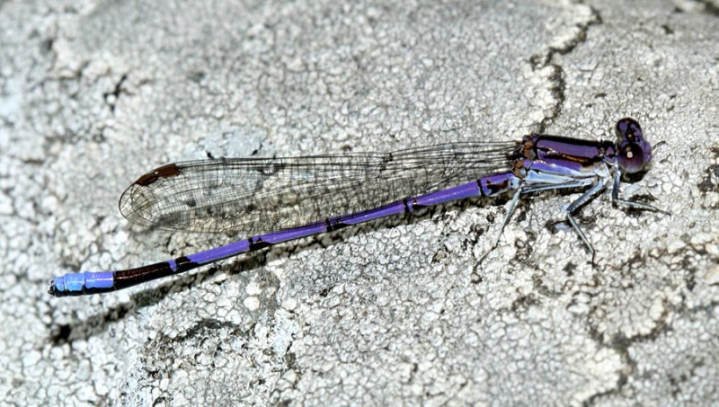Variable Dancer - Argia fumipennis (male)