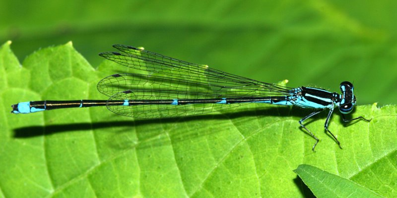 Stream Bluet - Enallagma exsulans (male)