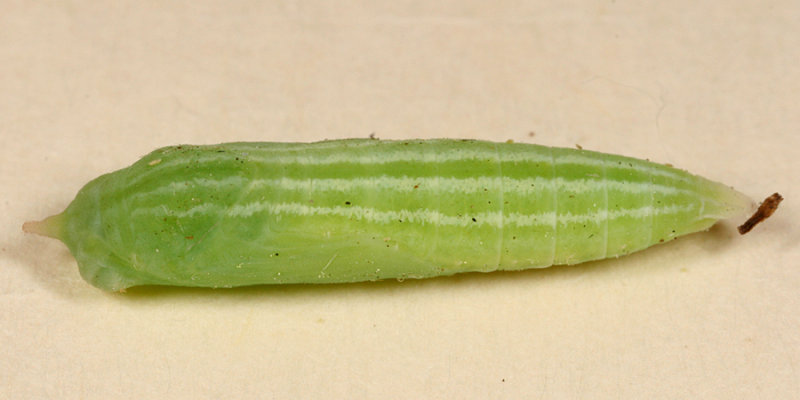 European Skipper pupa - Thymelicus lineola