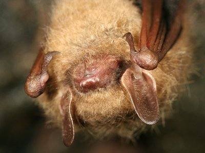 Northern Long-eared Bat - Myotis septentrionalis