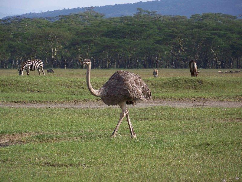 Ostrich (female)-0318