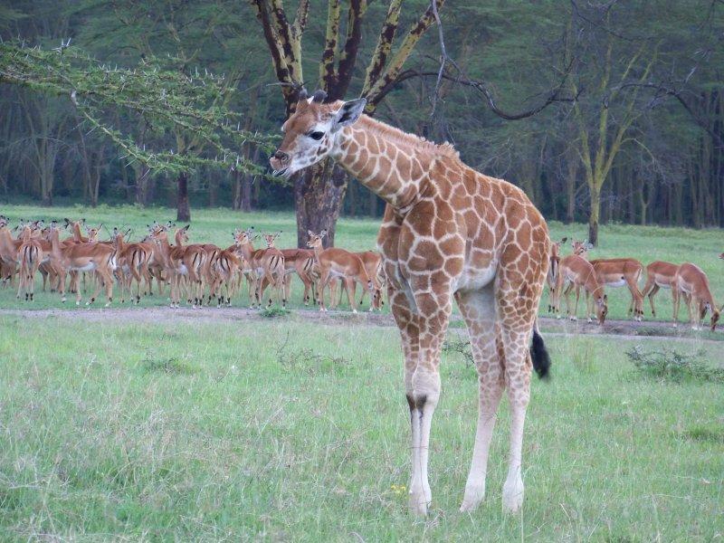 Giraffe and impala-0379