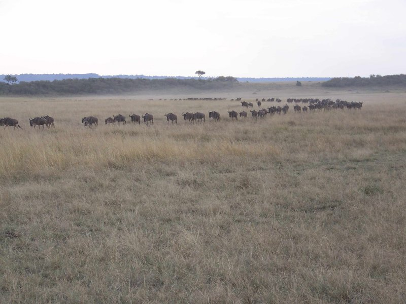 Line of Wildebeest-0637