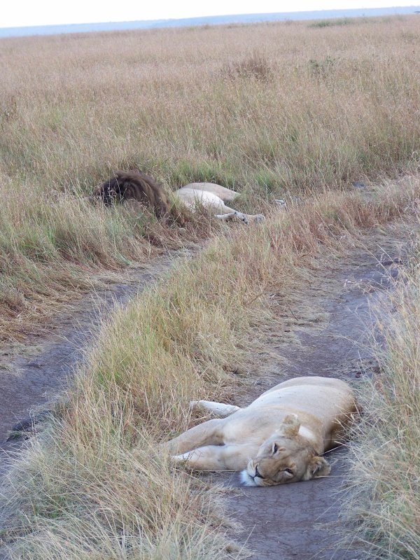 Lions snoozing-0724