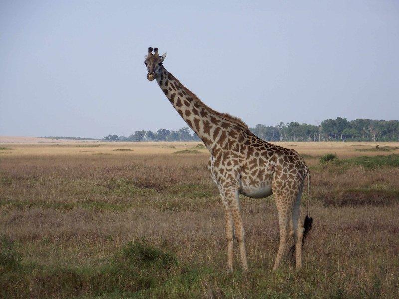 Masai giraffe-0761