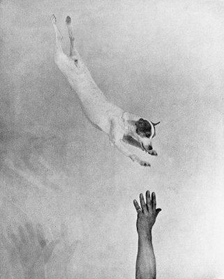 Jumping fox terrier, ca. 1930