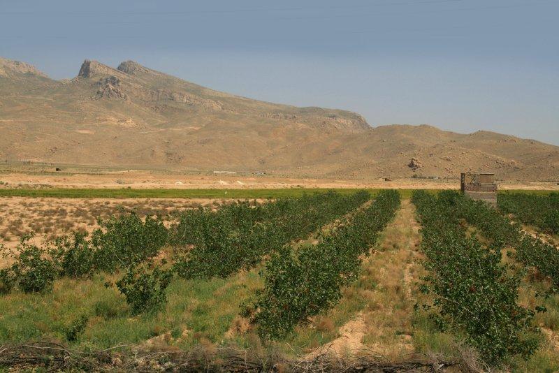 Pistache fields - Pistachekwekerij