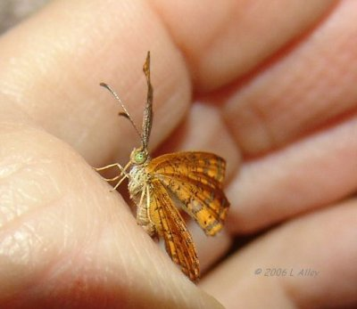 rounded metalmark question