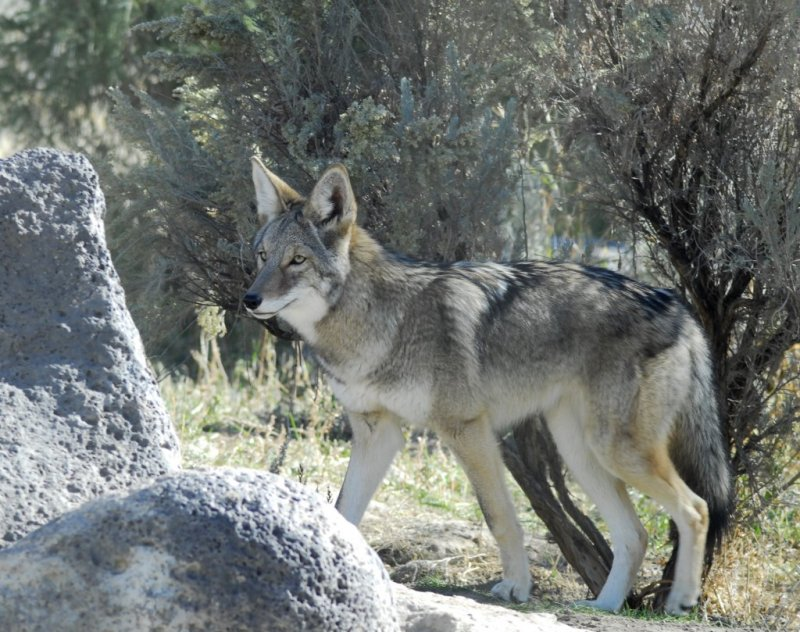 Coyote at Pocatello Zoo _DSC0748.JPG