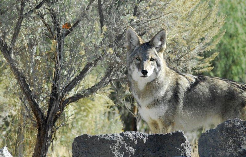 Coyote at Pocatello Zoo _DSC0750.JPG