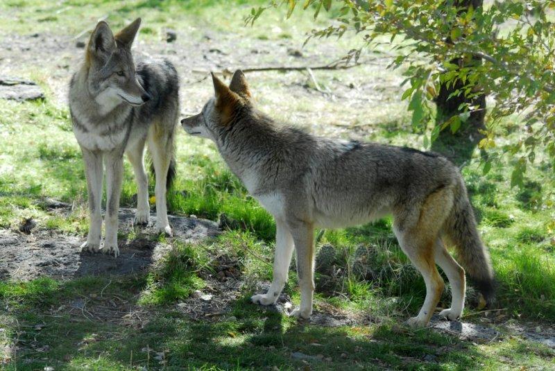 Coyotes at Pocatello Zoo _DSC0709.JPG